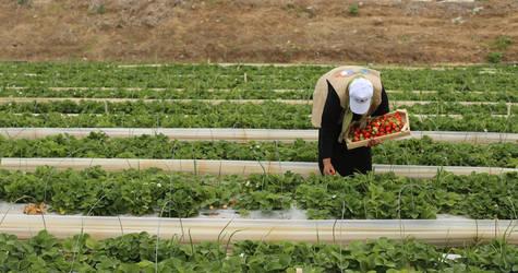 A UNRWA Job Creation Programme beneficiary working on a strawberry farm in northern Gaza. © 2017 UNRWA Photo by Tamer Hamam