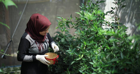 Photo caption: Irada tends to her hydroponic farm in Beit Hanoun, Gaza. © 2019 UNRWA Photo