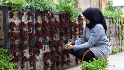 Maha Hajjaj collects some herbs and vegetables from the organic rooftop garden in Burj Barajneh, an initiative complementary to the Soufra catering service. © 2019 UNRWA Photo by Rabie Akel