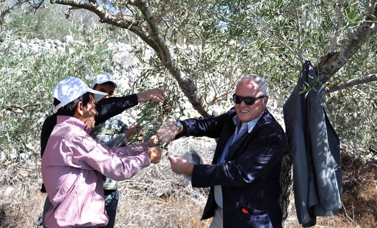 Olive harvest in Burin