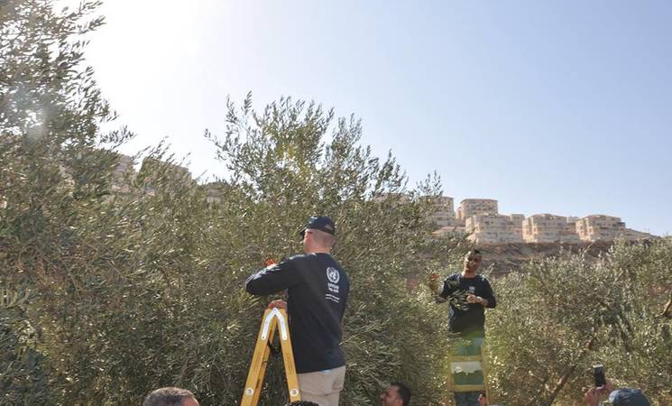 نظمت الأونروا فعالية لقطف الزيتون تضامنا مع المزارعين من لاجئي فلسطين في قرية واد فوكين غرب مدينة بيت لحم. الحقوق محفوظة للأونروا 2016، تصوير رهام الجعفري
