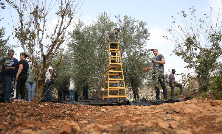 UNRWA staffers join community members in olive harvest activities in the village of Beit Surik, located northwest of Jerusalem. © UNRWA photto 2018,  Iyas Abu Rahmah