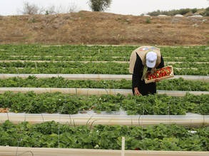 A UNRWA Job Creation Programme beneficiary working on a strawberry farm in northern Gaza. © 2017 UNRWA Photo by Tamer Hamam