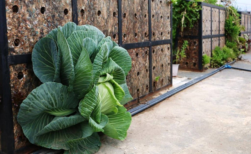 A giant cabbage head flourishes in the organic herb and vegetable garden on top of an UNRWA installation in the Burj Barajneh Palestine refugee camp near Beirut, Lebanon. © 2019 UNRWA Photo by Rabie Akel